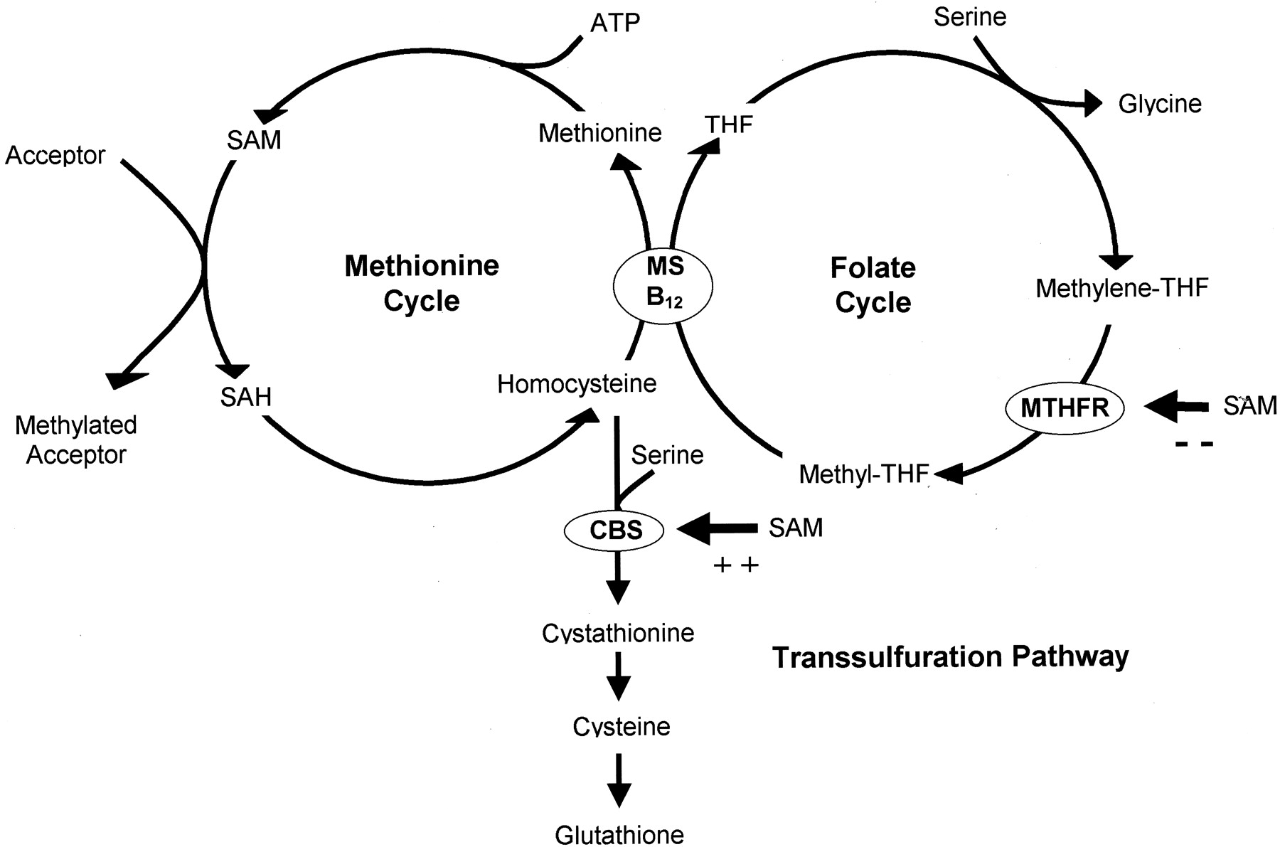 Cycle Vitamin Methionine Cycle Vitamin