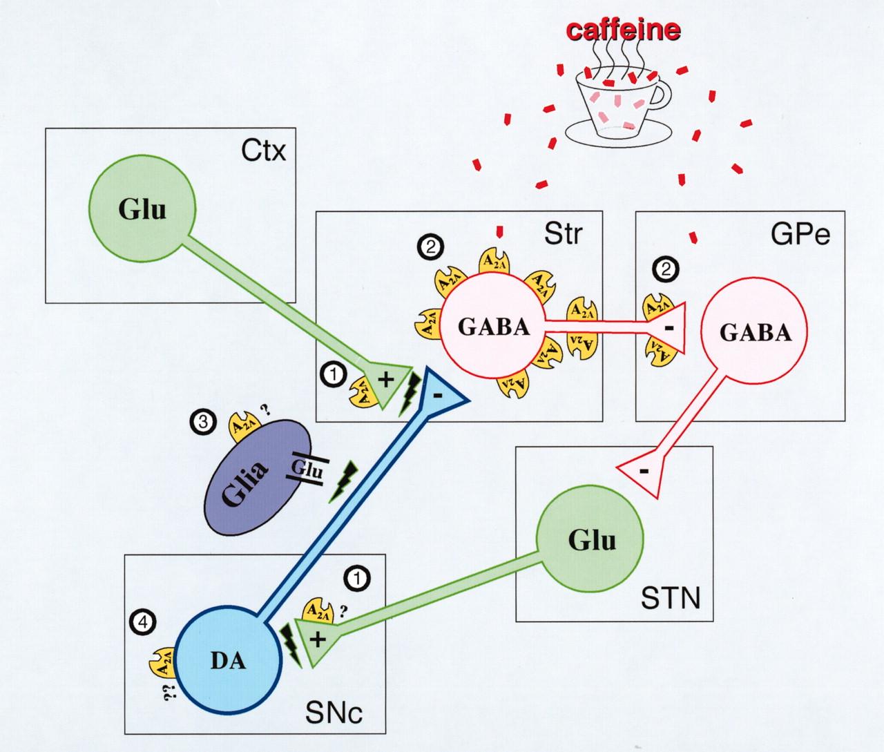 Dopamine Receptors Parkinsons DiseaseDopamine Receptors Parkinsons Disease