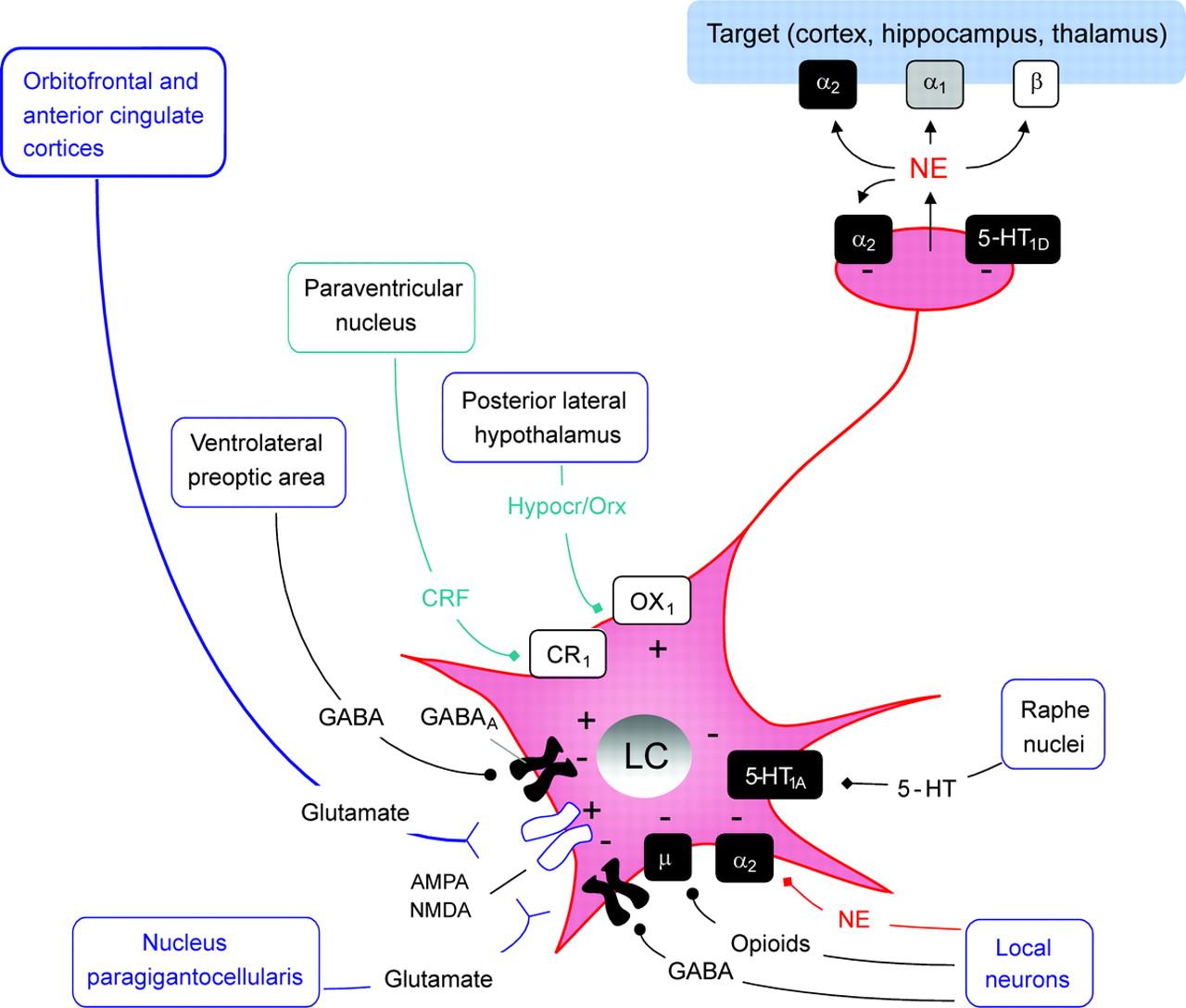 The locus ceruleus norepinephrine system | Neurology