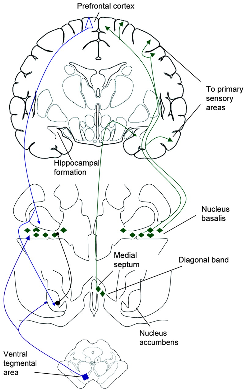 Acetylcholine in the cerebral cortex | Neurology