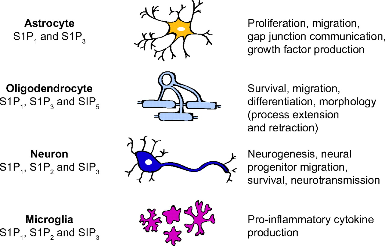 super populaire 16b3d a8788 The neurobiology of sphingosine 1-phosphate signaling and ...