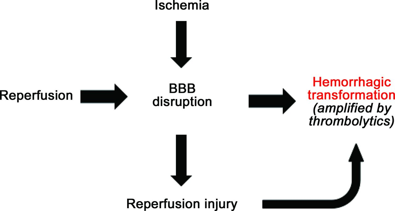 Blood–brain barrier, reperfusion injury, and hemorrhagic ...