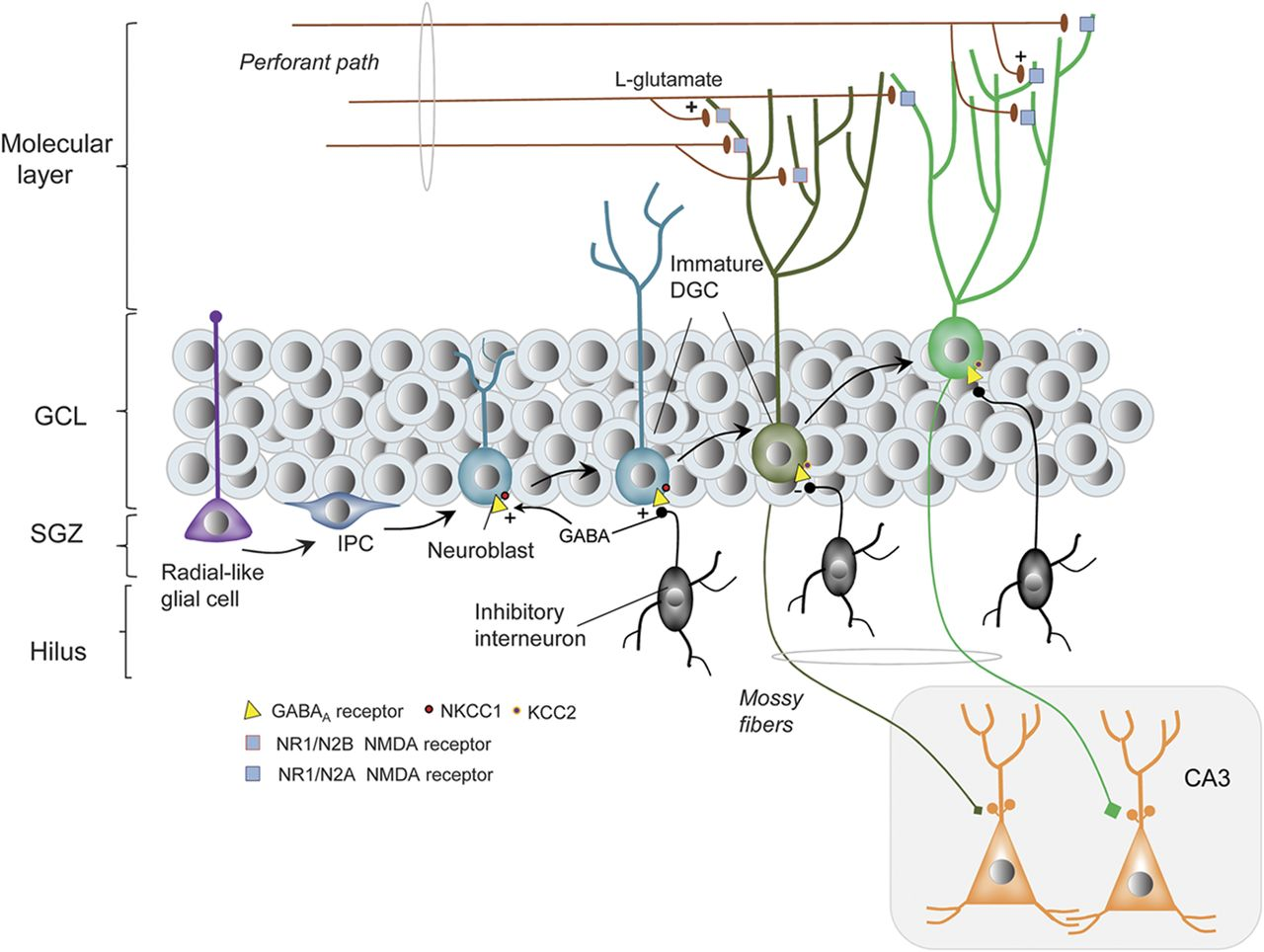 Adult neurogenesis in the dentate gyrus | Neurology on layout diagram, ic schematic diagram, a schematic drawing, template diagram, simple schematic diagram, ups battery diagram, as is to be diagram, circuit diagram, a schematic circuit,