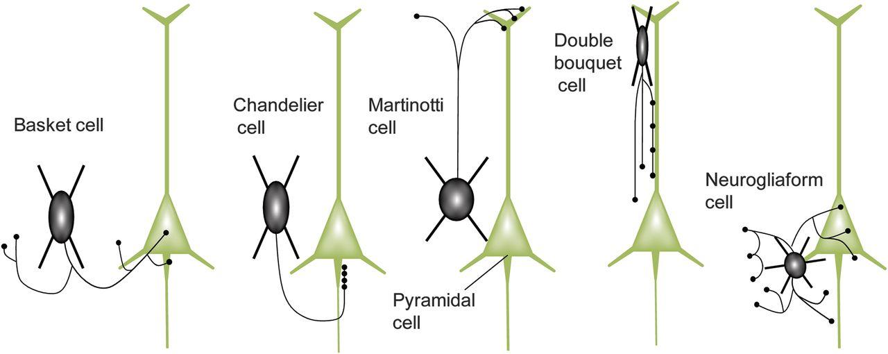 Neocortical interneurons neurology download figure aloadofball Gallery