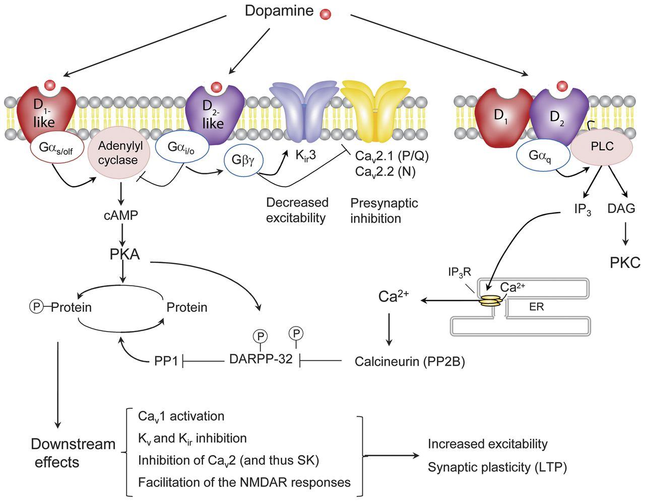 dopamin receptor