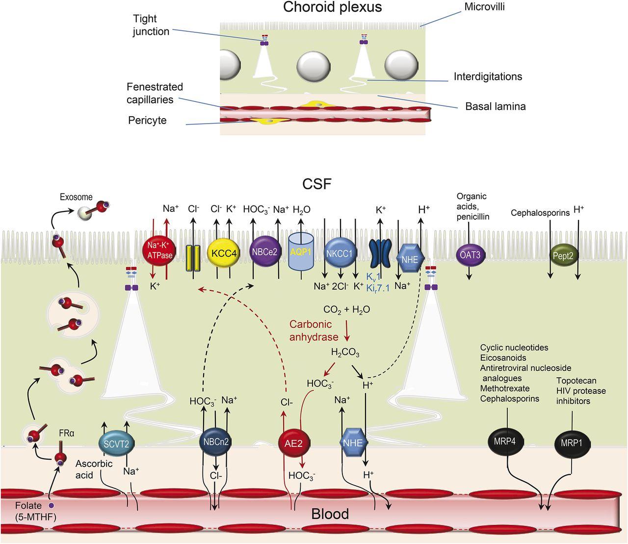 Choroid Plexuscsf System Neurology