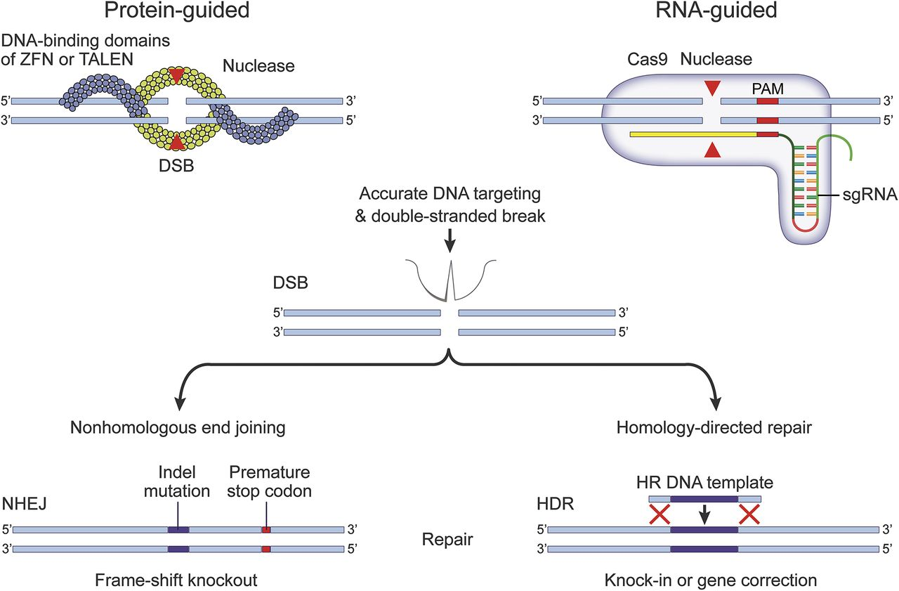 Genome editing technologies and their potential to treat neurologic
